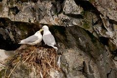 Pair of Kittiwakes. Mated Pair of Black-Legged Kittiwakes Exhibiting Bonding Behavior on Cliffside Nest stock photo