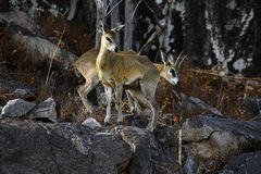 A pair of Klipspringers on the cliff face Royalty Free Stock Photography