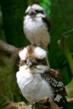 Pair Of Kookaburras. A pair of Kookaburras keeping a watchful eye on you Royalty Free Stock Images