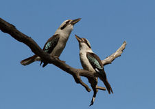Pair of Kookaburras. Two kookaburras on a tree branch against a blue sky Royalty Free Stock Photo