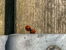 A pair of ladybirds on a wooden fence post in early spring sunlight stock images