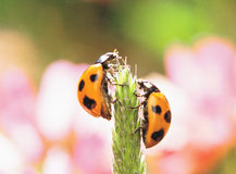 Pair of Ladybugs Royalty Free Stock Image