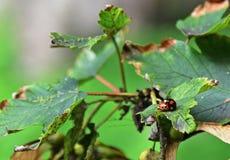 A pair of ladybugs, ladybird beetles, ladybeetles on foliage, mating royalty free stock photo