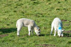 Pair of Lambs in Field Stock Photo