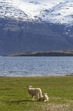 Pair of lambs on a field of grass in Iceland. Vertical composition of a pair of lambs sitting on a green grass field with the ocean an mountains in the Royalty Free Stock Photos