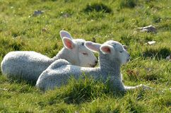 Pair of lambs lying in field Stock Photos