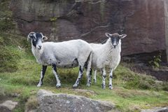 A Pair of Lambs. On Ilkley moor in Yorkshire,England stock image