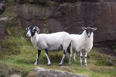 A Pair of Lambs. On Ilkley moor in Yorkshire,England royalty free stock images