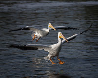Pair of Landing Pelicans. A oair of pelicans flying over and landing in a lake Stock Photos