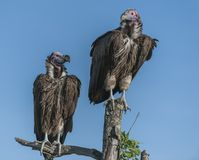 Pair of Lappet-Faced Vulture, Torgos tracheliotus. Sitting high on tree stump, one looking right, one looking leftwith blue sky in background, Masai Mara royalty free stock image