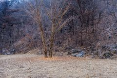 Pair of large barren leafless trees. In a field at edge of forest on hill with large granite boulder visible on the ground on overcast winter afternoon stock photography