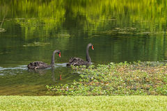 Pair of large black swans waterbird swimming in the lake during Royalty Free Stock Photos