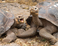 Pair of large Galapagos giant tortoise royalty free stock images