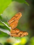 Pair of large orange, brown butterflies Stock Image
