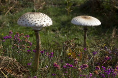 A pair of large parasol mushrooms in heathland. A pair of large parasol mushrooms (Macrolepiota procera) growing in heathland in the New Forest national park royalty free stock photography