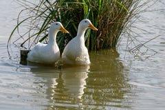 Two white heavy American Pekin Ducks royalty free stock photos