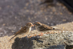 Pair of Lark Sparrows Perched on Rock Stock Photo