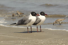 Pair of Laughing Gulls on the Beach - Georgia Royalty Free Stock Photography
