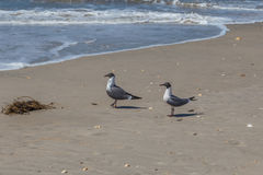 Pair of laughing Gulls Royalty Free Stock Image