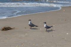 Pair of laughing Gulls Royalty Free Stock Image