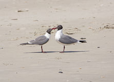 A Pair of Laughing Gulls Nuzzling on a Beach Royalty Free Stock Photography