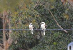 Pair of Laughing kookaburras royalty free stock images