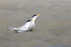 Pair of Least terns. An endangered least tern Sterna antillarum, offering a sand eel to it`s mate Stock Photo