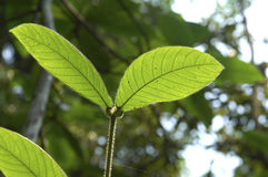 Pair of leaves. Leaves in the Amazonas rain forest Royalty Free Stock Photos