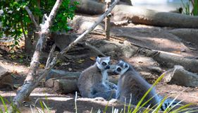 Two Lemurs. A pair of lemurs sitting on the ground at the zoo. Although local traditions generally help protect lemurs and their forests, illegal logging Royalty Free Stock Images