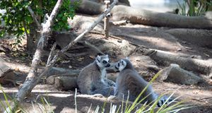 Two Lemurs. A pair of lemurs sitting on the ground at the zoo. Although local traditions generally help protect lemurs and their forests, illegal logging Stock Photos