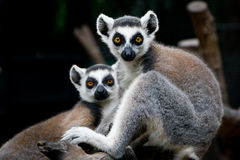 A pair of lemurs at a zoo Stock Image