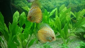 Pair of Leopard discus fish Royalty Free Stock Images
