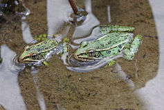 Pair of Leopard Frogs. A pair of Northern Leopard frogs (Lithobates pipiens) sitting at the edge of a lake. Shot in Muskoka, Ontario, Canada royalty free stock photos