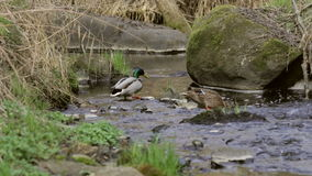 Pair of Lesser Duck in small creek stock video