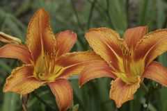 A pair of lillies Royalty Free Stock Photos