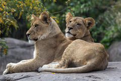 Pair of Lion Cubs Royalty Free Stock Photos