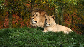 Pair of lion Stock Photos