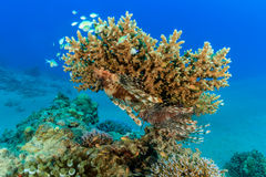 A pair of Lionfish on an acropora table coral. A lionfish underneath a table coral royalty free stock photos