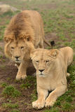 Pair of lions. On the grass stock image