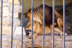 A pair of lions in captivity in a zoo behind bars. Marriage period for lions. Animal instinct. Stock Photo