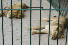 A pair of lions in captivity in a zoo behind bars sleep. A pair of lions in captivity in a zoo behind bars are asleep. Power in cage Stock Images