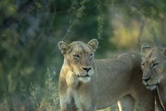 Pair of lions. Pair of female lions in grassland lit by sun royalty free stock photography
