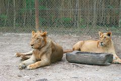 Pair of lions females laying on the ground in front of fence. Natural outdoor Zoo in Thailand. Scratched muzzle of mature Lion. stock photos