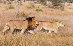 Pair of lions hunting at Kruger National Park, South Africa Stock Photo