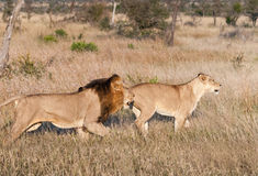 Pair of lions hunting at Kruger National Park, South Africa Stock Photography