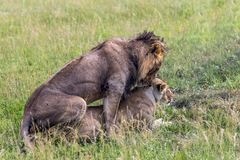 The pair of lions. Kenya. The pair of lions. Safari - a tour to the famous reserve Masai Mara. African savanna at equator. Predators in their natural habitat stock photo