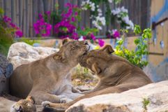 Pair of lions kissing stock images