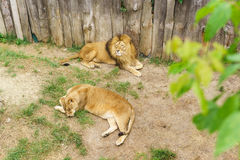 A pair of lions lat. Panthera leo is a carnivorous mammal of the genus Panther of the subfamily of large cats the cat family Fe Stock Images