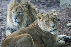 Pair of Lions. Laying down, male and female Royalty Free Stock Images