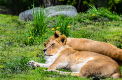 Pair of lions laying Royalty Free Stock Photos